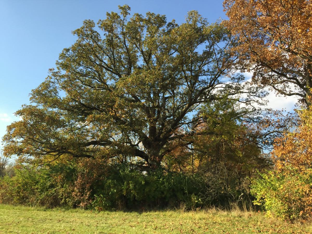 2016 Heritage Tree Burr Oak